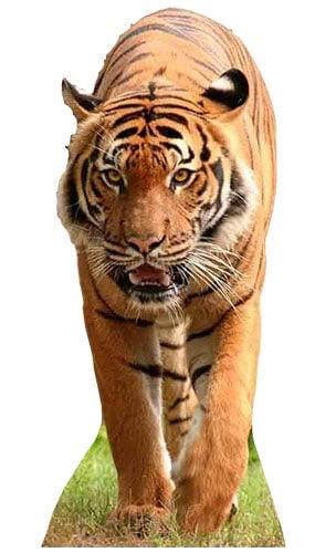 Tiger Lifesize Cardboard Cutout - 130cm Product Image
