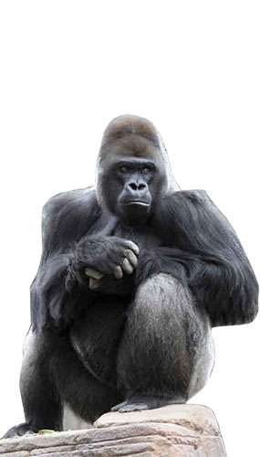 Gorilla Lifesize Cardboard Cutout - 124cm Product Gallery Image