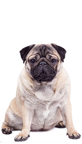 Pug Lifesize Cardboard Cutout 128cm Product Gallery Image